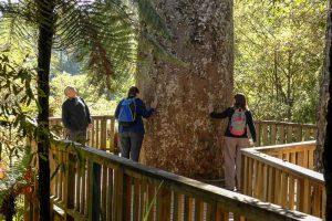 Kauri trees on the Coromandel Tour