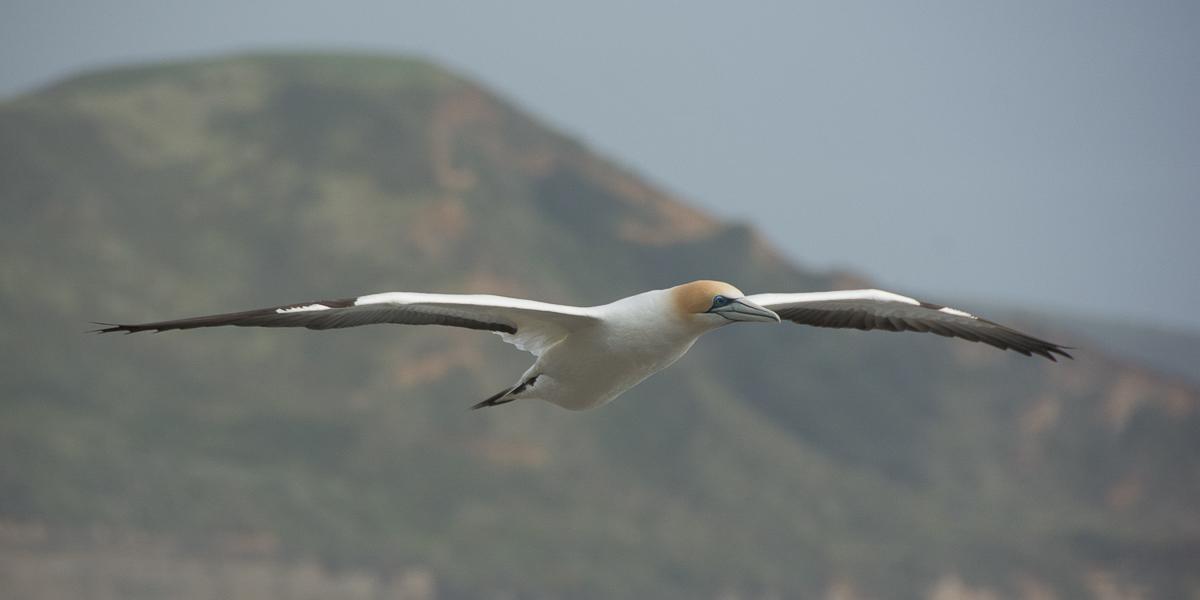 Muriwai gannet flying